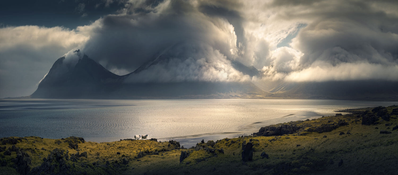 Icelandic Lambs in nature